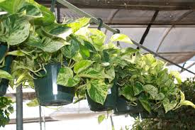 top 5 most rewarding houseplants for novices good to grow