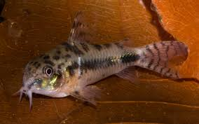 Salt and pepper catfish