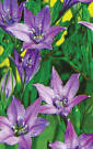 brodiaea queen fabiola
