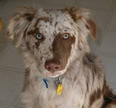 australian shepherd qualities the aussiedor u2013 australian shepherd labrador puppies aussiedoodle