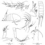 Image result for Antrisocopia prehensilis