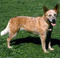 australian shepherd queensland heeler adopt an australian cattle dog dog breeds petfinder