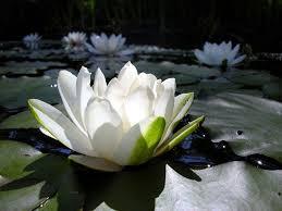 Flor de Lótus – Uma das mais cobiçadas