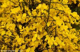 Tree With Bright Yellow Flowers - photo of bright yellow flowers blooming on shrubs scattered