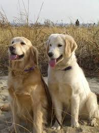Golden Retriever The Gun Dogs