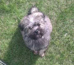 buy a affenpinscher perfect lowchen puppies dog breeds puppies temperament and