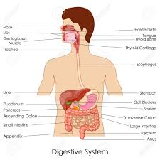 label the diagram of the digestive system schematics wiring diagram