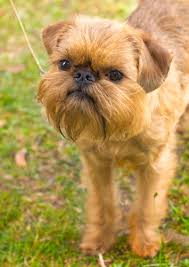 affenpinscher brown brussels griffon history personality appearance health and pictures