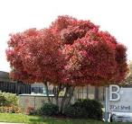 <b>Photinia</b> Tree