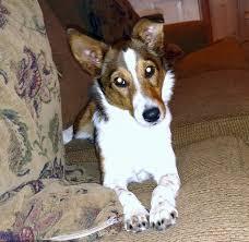 australian shepherd queensland heeler allmutt com pictures of mix breed dogs
