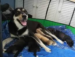 husky x australian shepherd for sale husky x dogs u0026 puppies gumtree australia free local classifieds