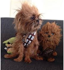 affenpinscher ewok the force is strong in these cute pets baxterboo