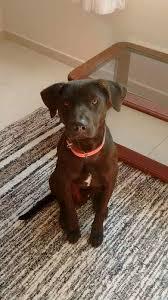 Cachorro cor chocolate está desaparecido na região do Butantã, em ...