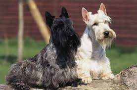 Scottish Terrier Top Dog Wallpaper