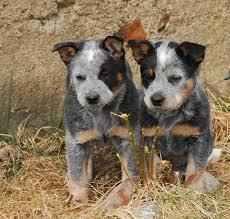 australian shepherd queensland heeler 25 best cattle dogs ideas on pinterest adorable animals facts