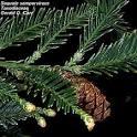Sequoia sempervirens, coast