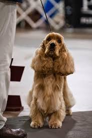 affenpinscher brown dog show 2014 04 20