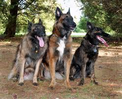australian shepherd queensland heeler co habitating with a herding dog thedogtrainingsecret com