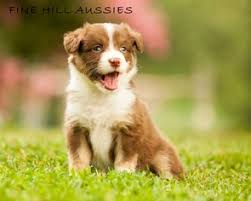 australian shepherd queen creek az australian shepherd dogs for adoption in 32825 area