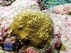Image result for Leptastrea aequalis