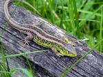 Image result for Lacerta agilis