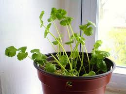 10 vegetables u0026 herbs you can eat once u0026 regrow forever food