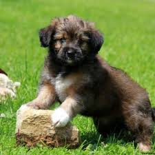 australian shepherd and lab mix puppies for sale in pa find your perfect puppy at greenfield puppies