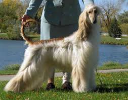 afghan hound long haired dogs taking care of an afghan hound pet attack