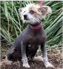 australian shepherd queensland heeler australian cattle dog natural history