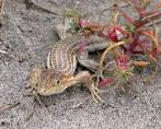 Image result for Acanthodactylus haasi