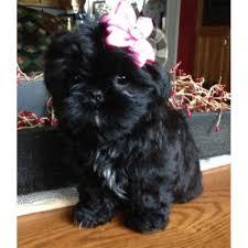 bluetick coonhound puppies for sale in ohio amanda u0027s shih tzu shih tzu breeder in crown city ohio