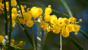 Tree With Bright Yellow Flowers - bright yellow flowers of mimosa stock photo image 30202190