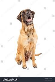 large apricot color female mastiff dog stock photo 102043387