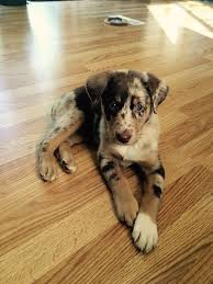 australian shepherd and lab mix 23 best perfect images on pinterest