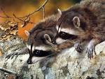 national geographic raccoon photos