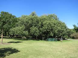 Brisbane City Botanic Gardens by National Trust Bodhi Tree Peepul Tree Bo Tree Ficus Religiosa