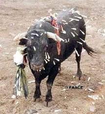 Increible, El llanto de un toro ¿Creés que no sufren?
