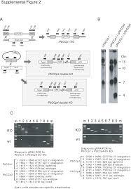 Indeed Ckm Analysis Of Mutant Plasmodium Berghei Parasites Lacking Expression