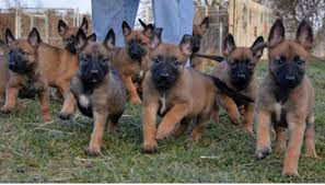 belgian sheepdog breeders in michigan sell dogs donegal sell puppies donegal buy and sell puppies in