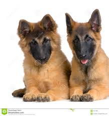 belgian shepherd tervuren belgian shepherd tervuren puppy stock photos images u0026 pictures