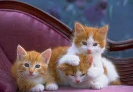 اجمل صور قطط في العالم Images?q=tbn:ANd9GcS2shLWR0HWUrLdv0Xh3ImltPcXSNL-2-q9tggc2QeRICqhCYMA