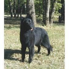 belgian sheepdog breeders in texas m a j i c belgian groenendael groenendael breeder in fairbury