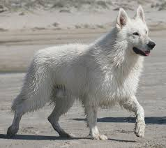 belgian shepherd uk breeders berger blanc suisse u0026 white shepherd dogs dances with wolves ranch
