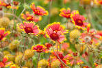 Image result for Gaillardia pulchella