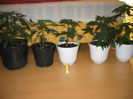 Marijuana in vaso