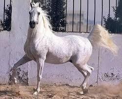 تاريخ الحصان العربي في العالم Images?q=tbn:ANd9GcS3yuGKUUkH_IfaTiqxvYuF9CNPzBHdgT4rmt72sEujuKvXccno-g