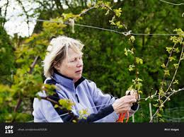 a woman tying in shoots of a climbing plant to wires stock photo