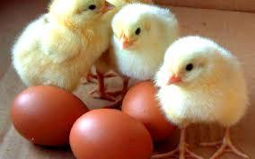 La poule était là avant l'oeuf, arguments scientifiques à l'appui Images?q=tbn:ANd9GcS5SuLSORRKDqVRMvRLSU6cyAxDr4-Vtub2T6omwd_Zn5mdIV0cVQ