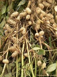الله العظيم هي صورة شتلات الفول السوداني وهي صور النبته