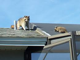 How Do You Get Rid Of Possums In The Backyard by How To Get Rid Of Raccoons